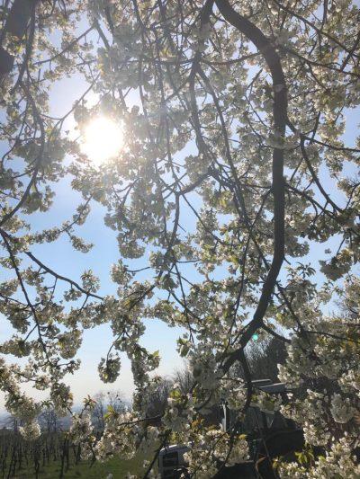 Die Vogelkirsche in der vollen Pracht blüht (wilde Kirsche). Das zerkleinern des alten Rebholzes hat begonnen. 02.04.2019