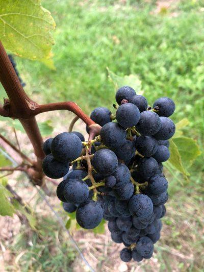 Die letzten Tage der Weinlese 2019