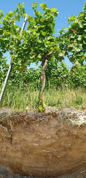 Eichkogel Tor Pinot Noir dicht 2